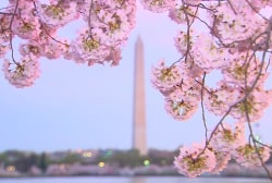 A brief history of DC's famous cherry...