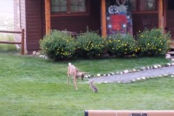Baby deer, bunny frolic in Colorado