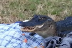 Alligator steals, eats sandwich from picnic
