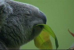Baby koalas 'meet the press' at IN zoo