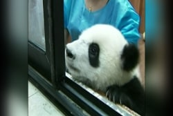 Panda cubs frolic at China research center