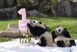 Panda twins celebrate birthday with ice cake
