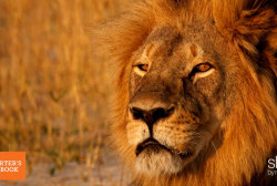 Man who killed lion, 'uncomfortable,' ...