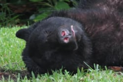 Florida bear eats dog food, passes out