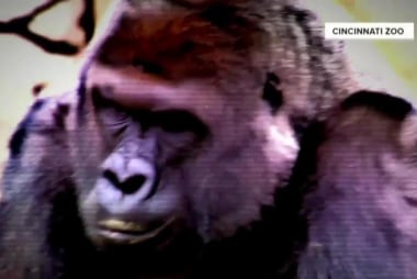 Outrage growing after gorilla shot to...