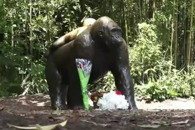 Fallout from the shooting of gorilla in...