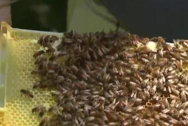Honey bee population dwindling