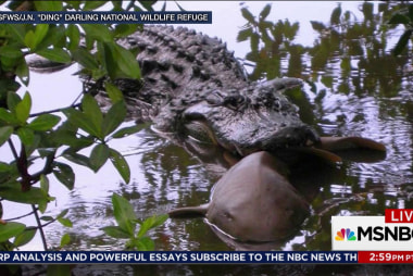 The Ultimate Florida Showdown: Alligators...