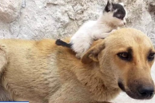 #GoodNewsRUHLES: Street dog adopts orphaned kitten