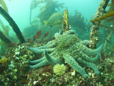 Divers search for clues to an epidemic killing millions of starfish