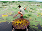 A villager collects seeds from Giant Water Lilies