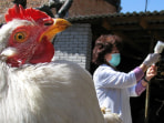A chicken is prepared to be immunized by