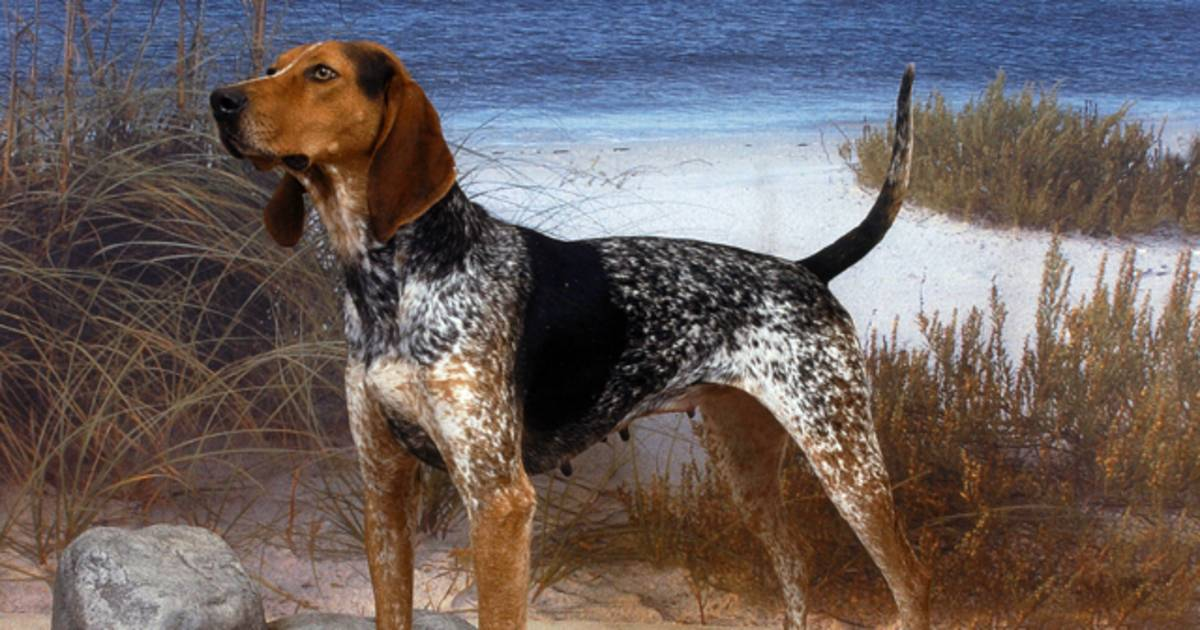 what u2019s a coonhound  three new breeds recognized by akc