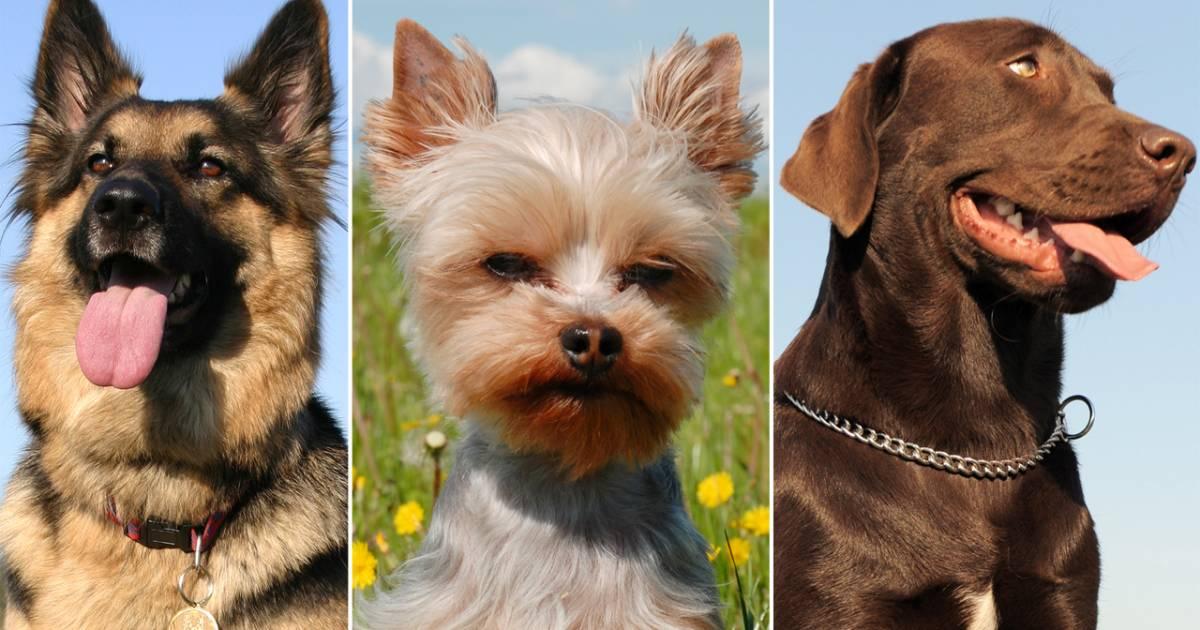 Most Popular Dog Breeds 2012