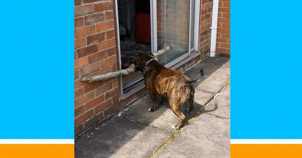 Adorable dog tries real hard to get big stick through door