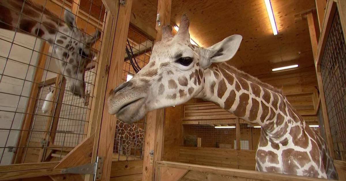 April the Giraffe is pregnant again!