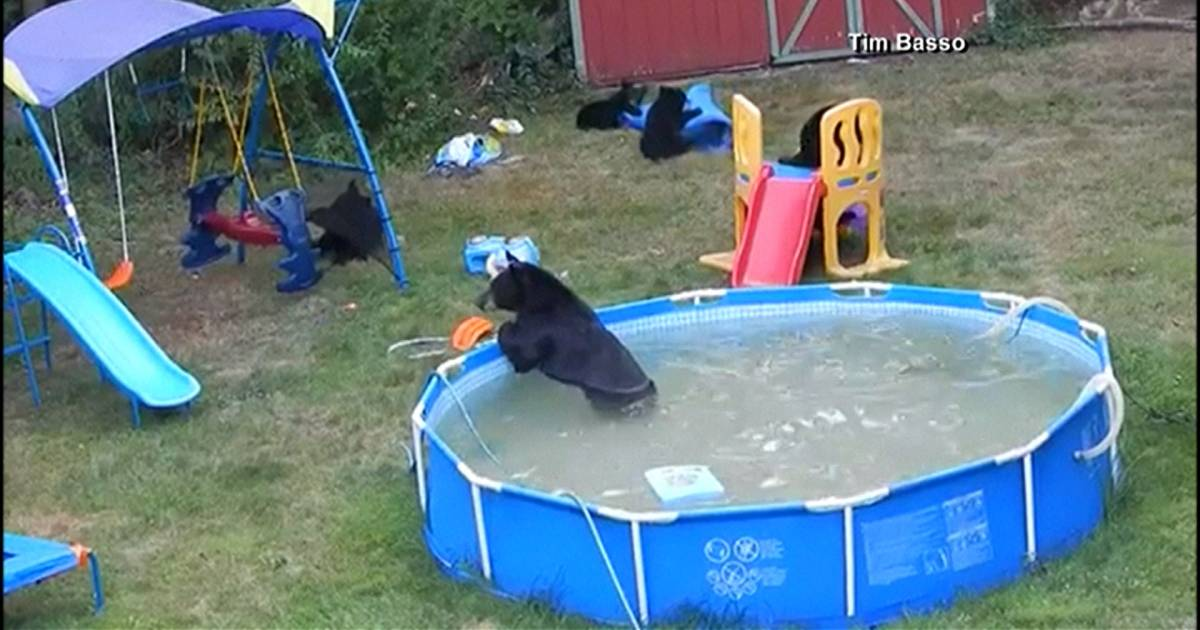 Bear family has a pool party in new jersey for Bears in swimming pool new jersey