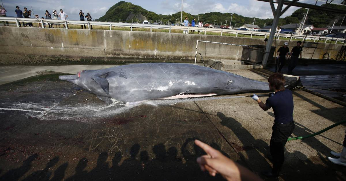 an argument in favor of japanese whaling Japan's scientific whaling programme led to the killing of hundreds of whales in 2009 alone it is hard to imagine any other scientific investigation of a species being organised around the principle of mass killing.