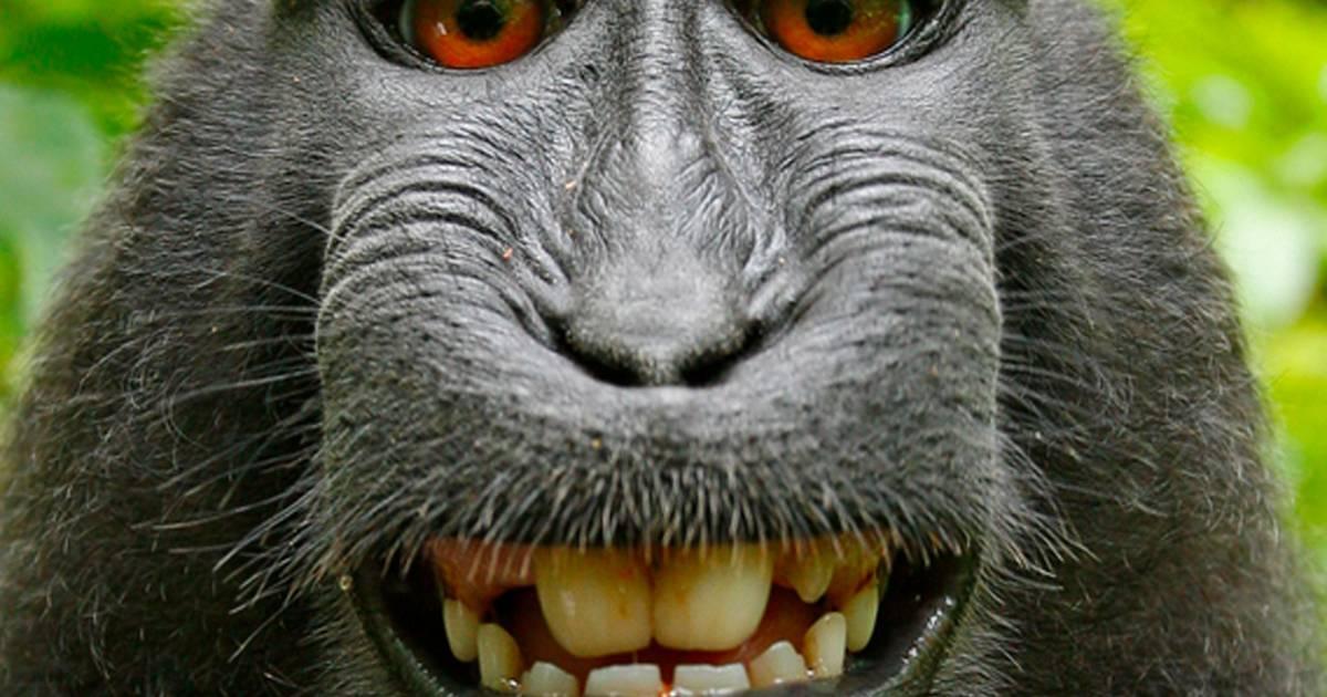 Federal appeals court rejects monkey selfie suit