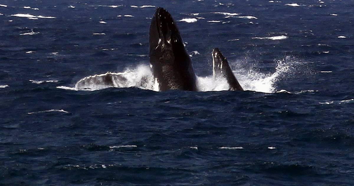 whales and interference Include northern and southern right whales, humpback whales, minke whales and blue whales the north atlantic right whale got its name from whalers, who thought it was the right whale to hunt.