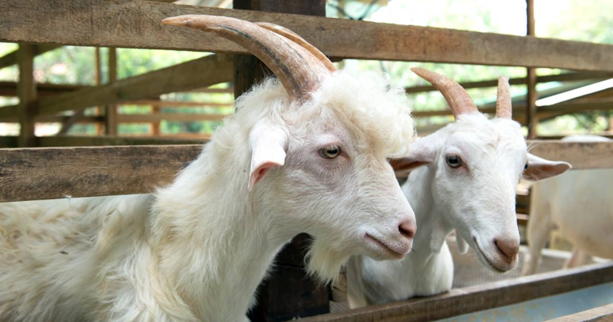 Goat farm essay