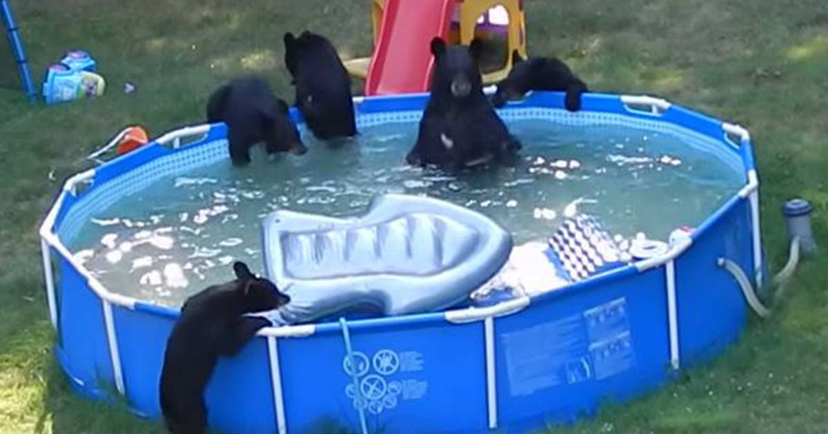 39 my floatie 39 bears cool off in new jersey family 39 s pool for Bears in swimming pool new jersey