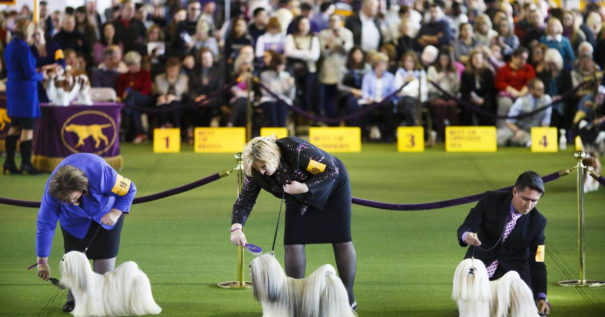 top pooches fetch prizes at westminster dog show