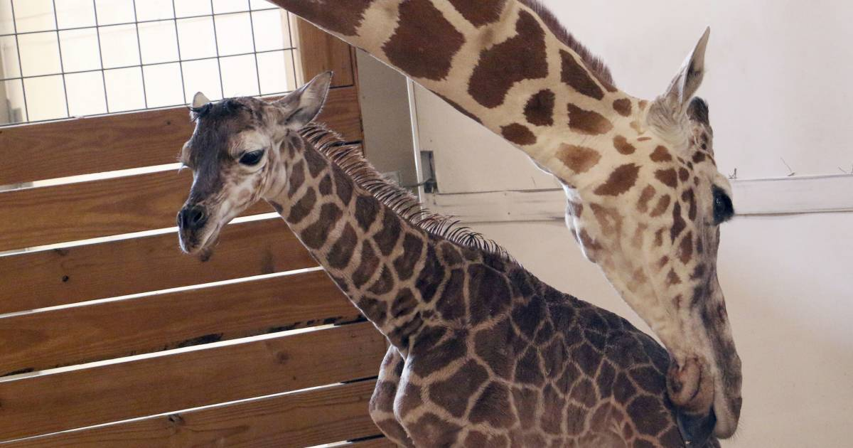 Why April the Giraffe will say goodbye to one calf before another arrives