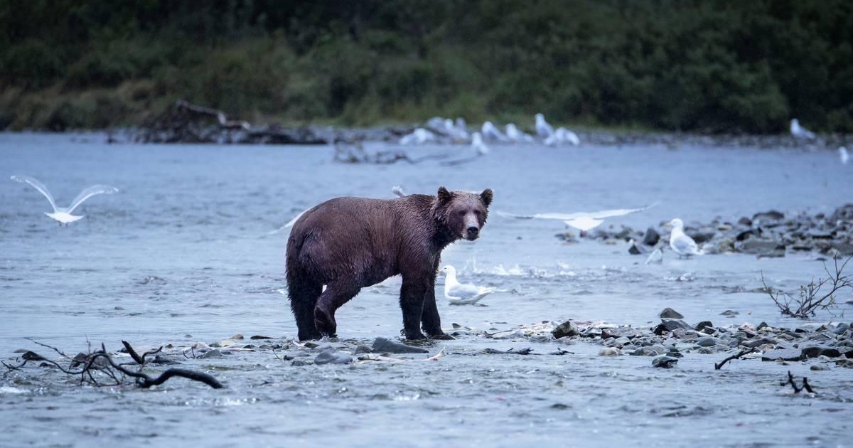 Interior Dept. moves to allow Alaska bear hunting with doughnuts, bacon