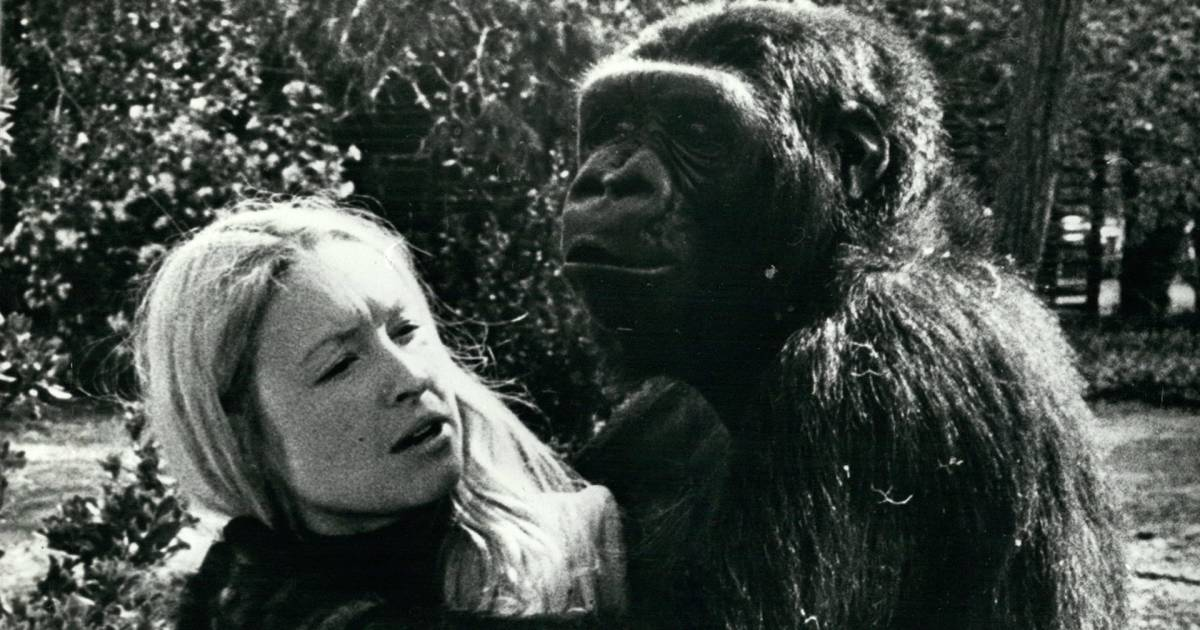 Koko, the beloved gorilla who communicated using sign language, has died