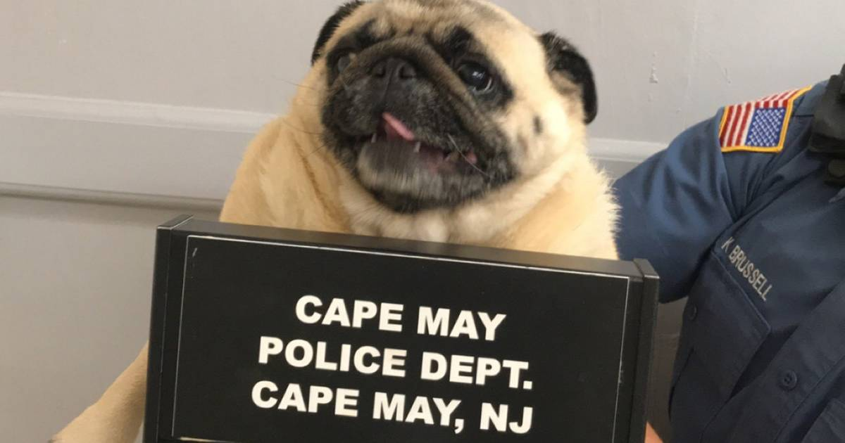 Police take 'pug shot' of runaway dog in New Jersey