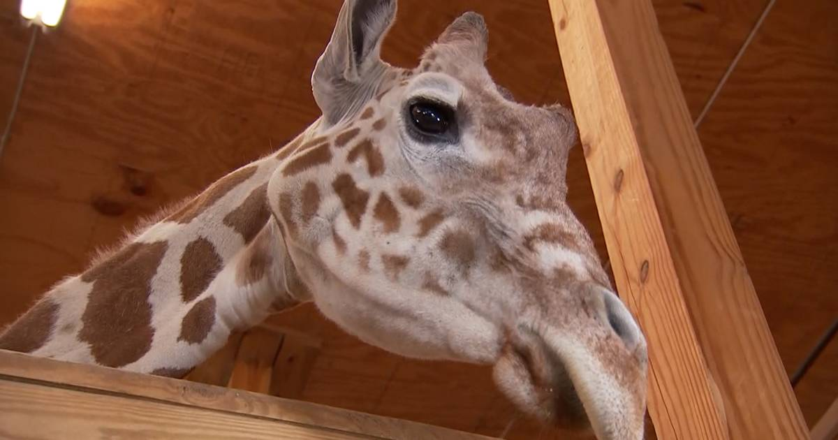 April the Giraffe is pregnant — again!