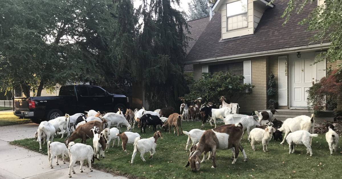 Dozens of rogue goats descend on Idaho neighborhood