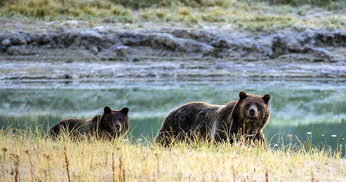 Federal judge restores grizzly protections, canceling bear hunt