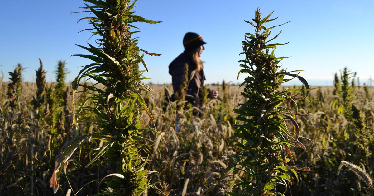 Hemp industry expected to blossom under new Farm Bill