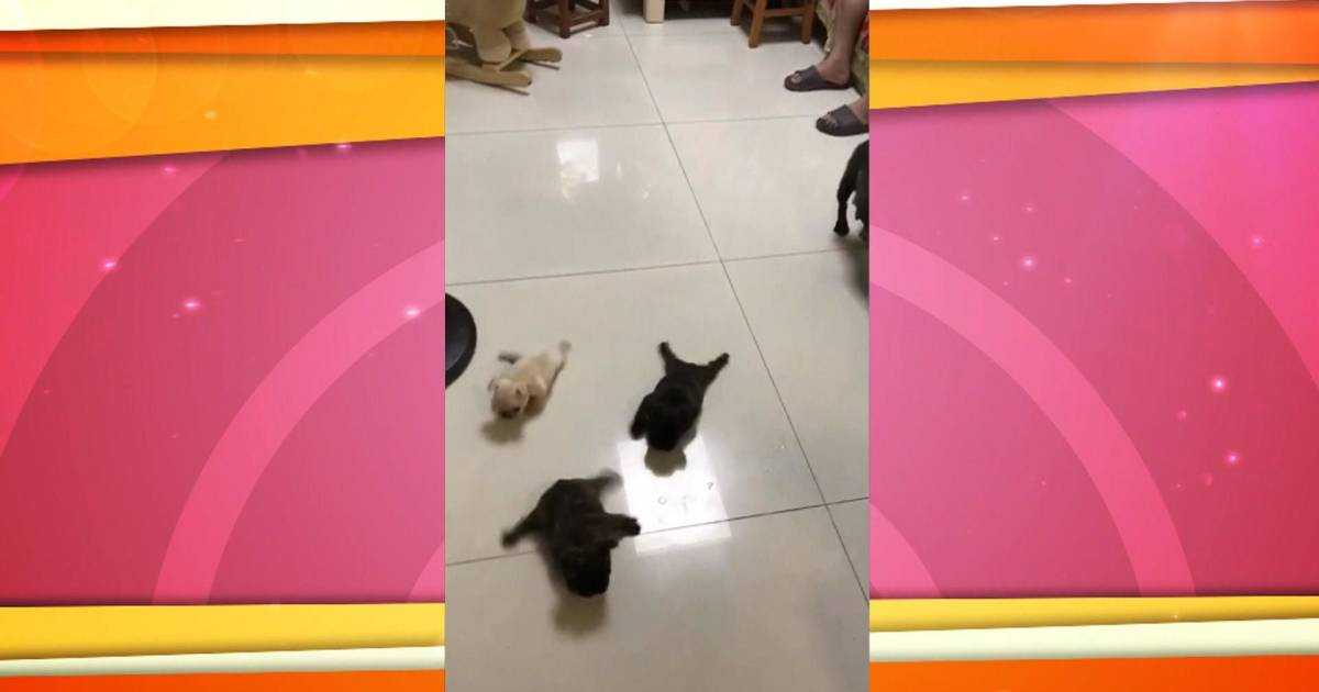 French bulldogs waddle across floor as they learn to walk in cute video