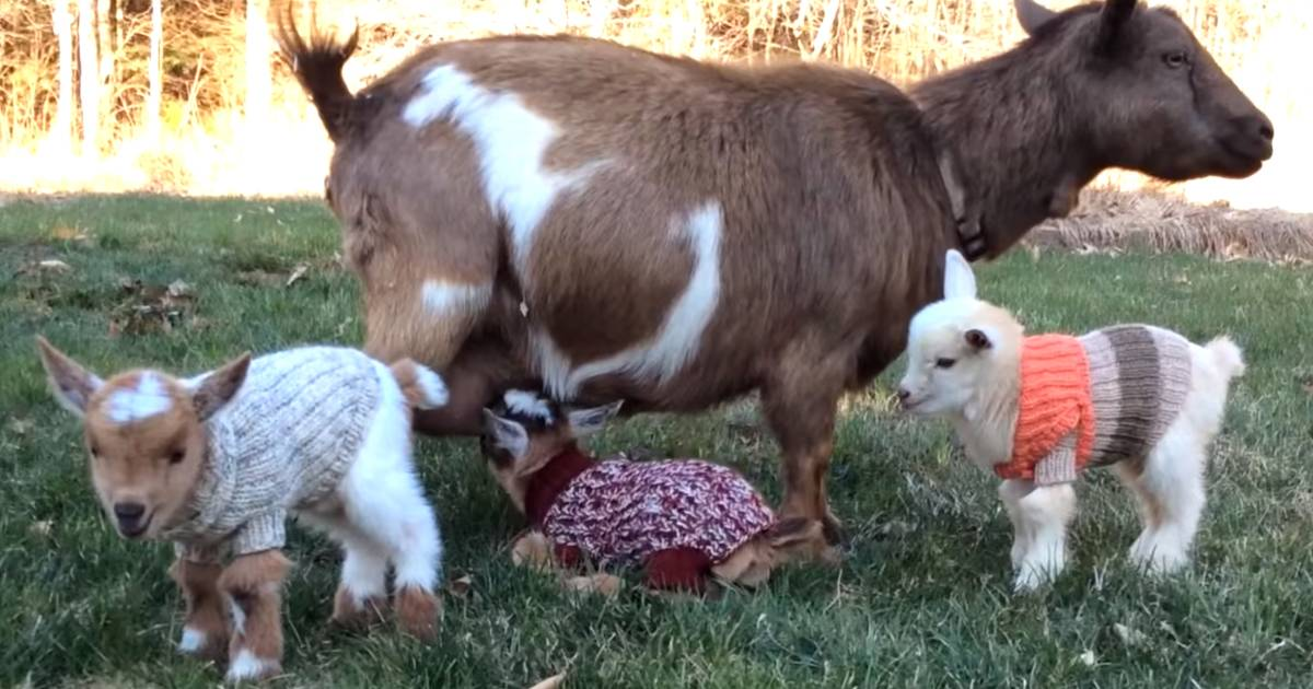 It Doesn T Get Much Cozier Baby Goats Rock Adorable