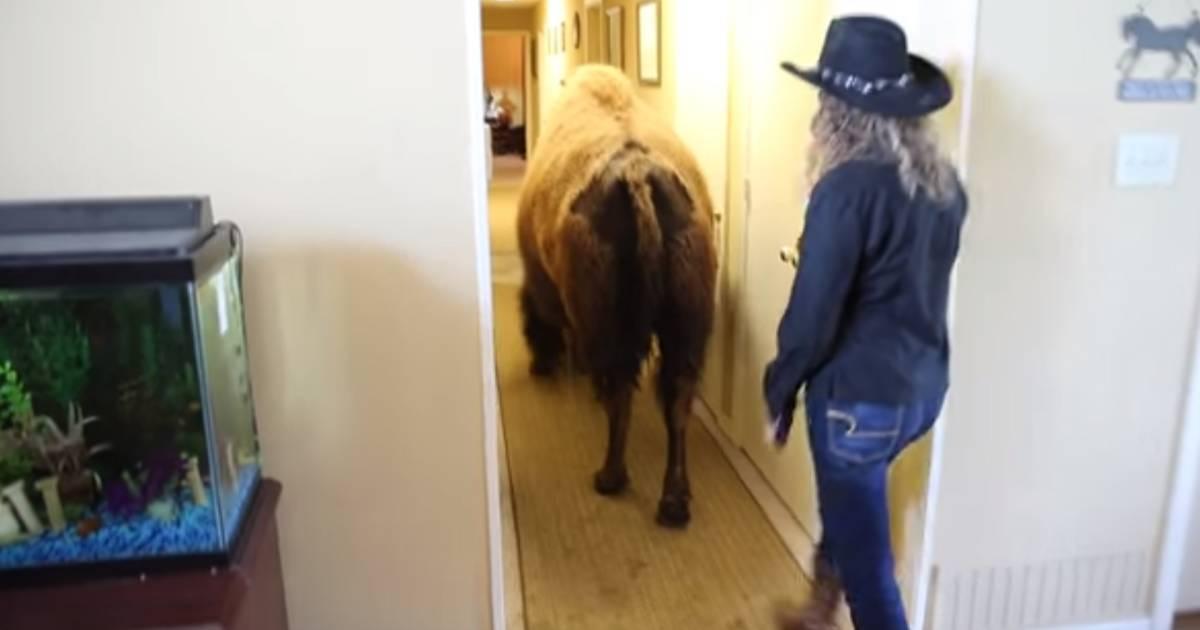 Sold on Craigslist: Housebroken bison finds new home
