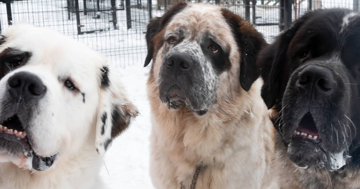 Saint Bernard siblings who always stick together find forever home