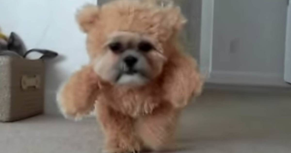 Munchkin The Shih Tzu Won Halloween In This Teddy Bear Costume