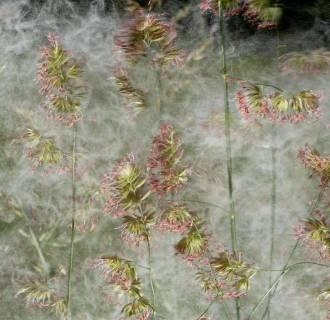 Image: Pollen Bomb