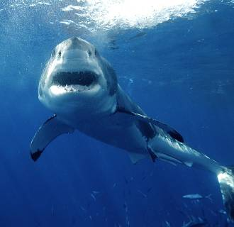 Image: A great white shark
