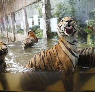 Image: Bengal tigers play in a pool of water at the zoo in Malabon, Metro Manila