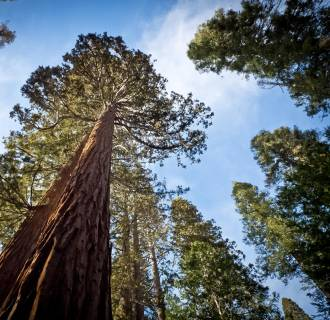 Image: A Giant Sequoia (Sequoiadendron giganteum) at Yosemite National Park on March 8.