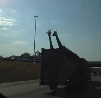 Image: A giraffe being transported in an open-air truck bed on a highway in South Africa died Thursday after reportedly hitting its head on an overpass.