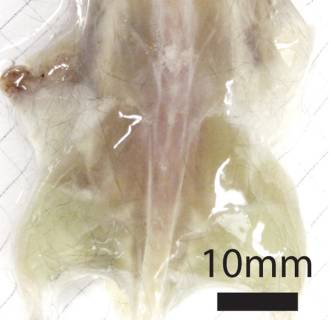 Image: This undated photo combo provided by the journal Cell and taken with a bright field camera, shows a mouse with its skin removed during various stages of examination