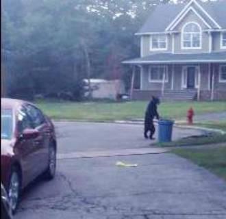 Walking Black Bear