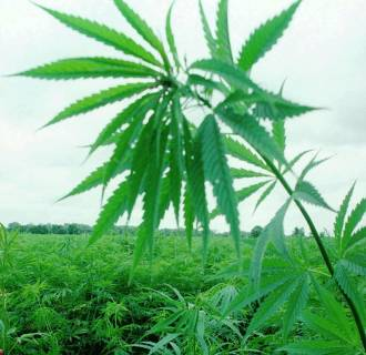 Image: Industrial hemp