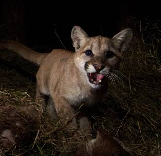 Image: This mountain lion kitten was spotted in the Santa Monica Mountains last March.
