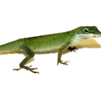 Lizard Tail